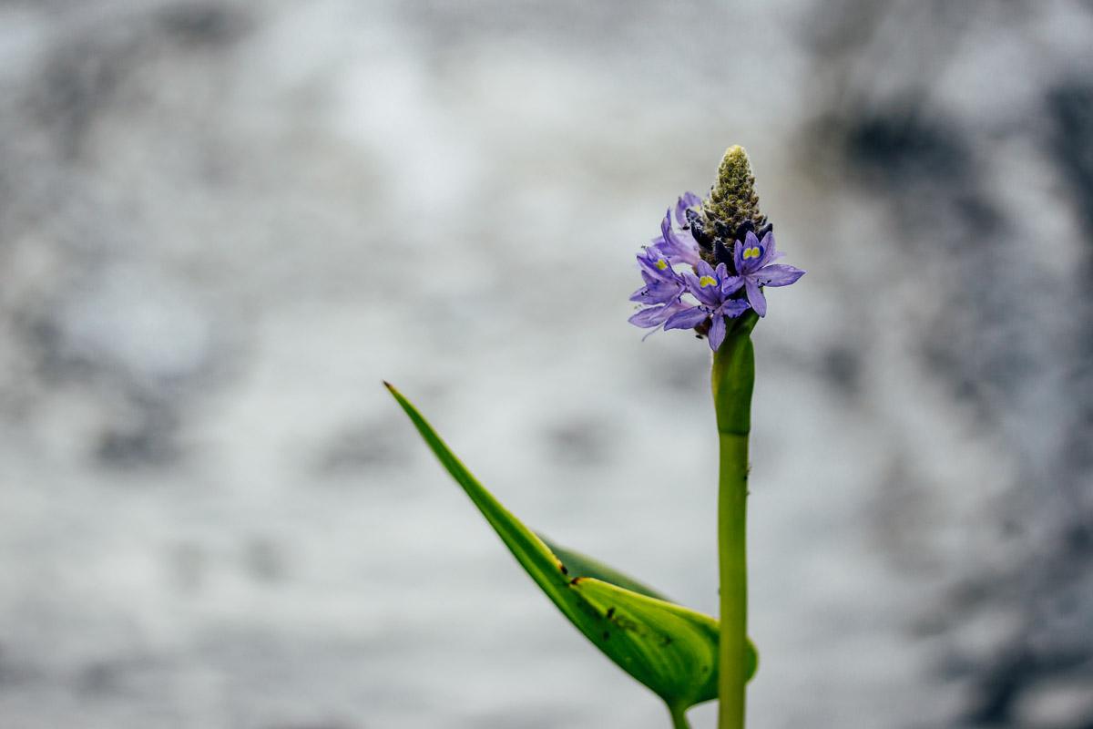 Teichblume mit lilafarbener Blüte