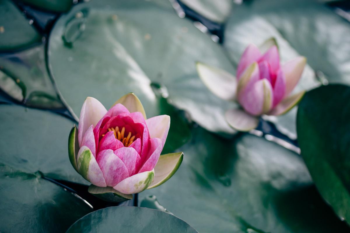 Zwei pinkfarbene Seerosenblüten
