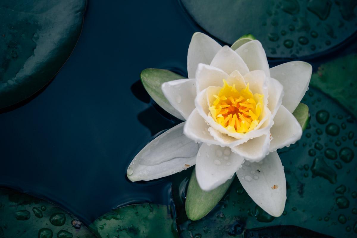 Einzelne weiße Seerosenblüte