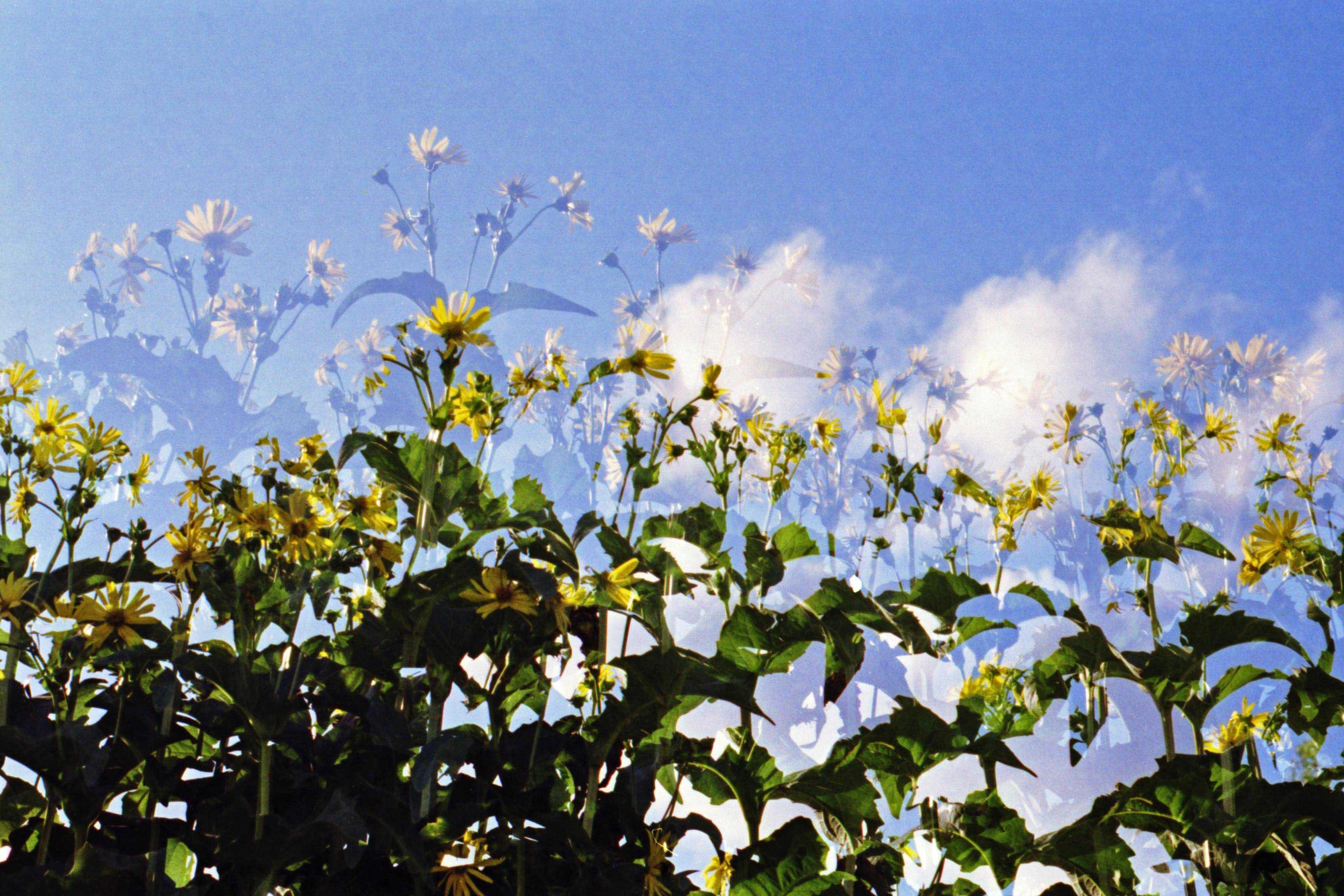 Doppelbelichtung von gelbblühenden Blumen vor blauem Himmel
