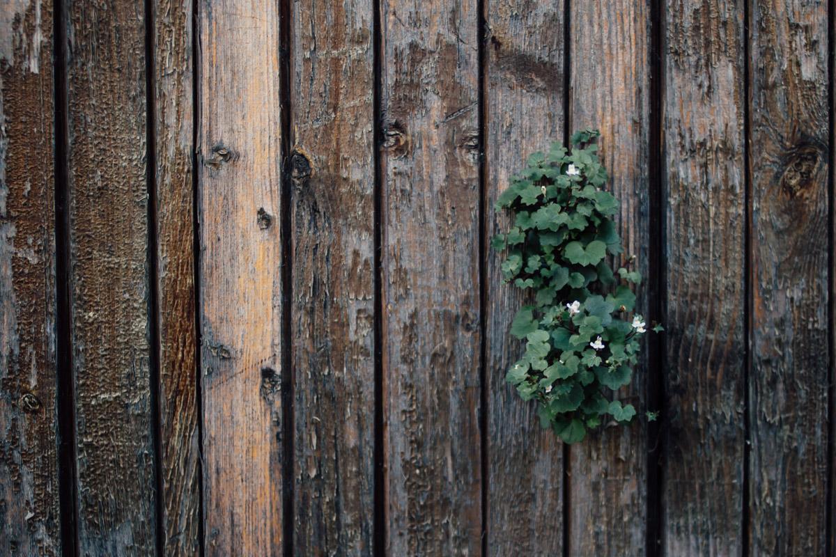 Aus einer Holzwand wachsende Pflanze