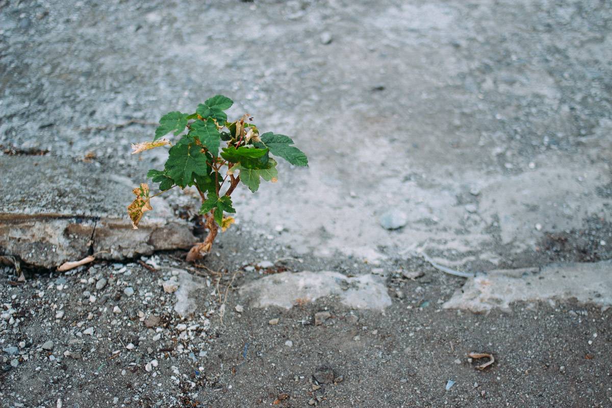 Kleiner Ahornbaum wächst auf Beton