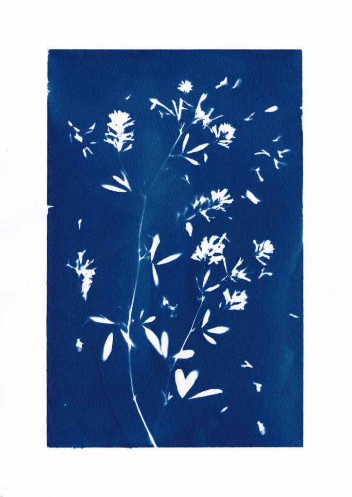 Cyanotype von Luzerne