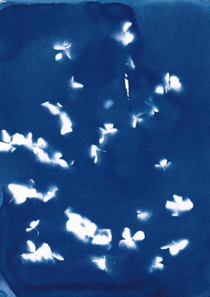 Cyanotypie von Kletterhortensienblüten
