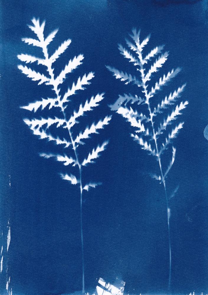 Cyanotype von zwei gefiederten Blättern