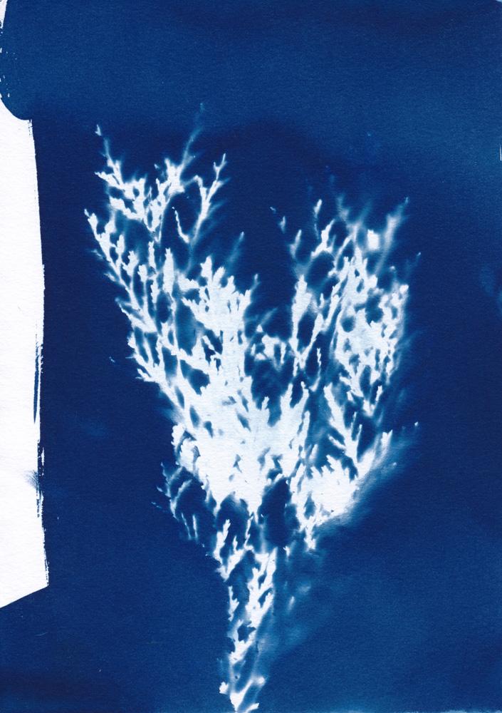 Cyanotypie eines Zypressenzweiges