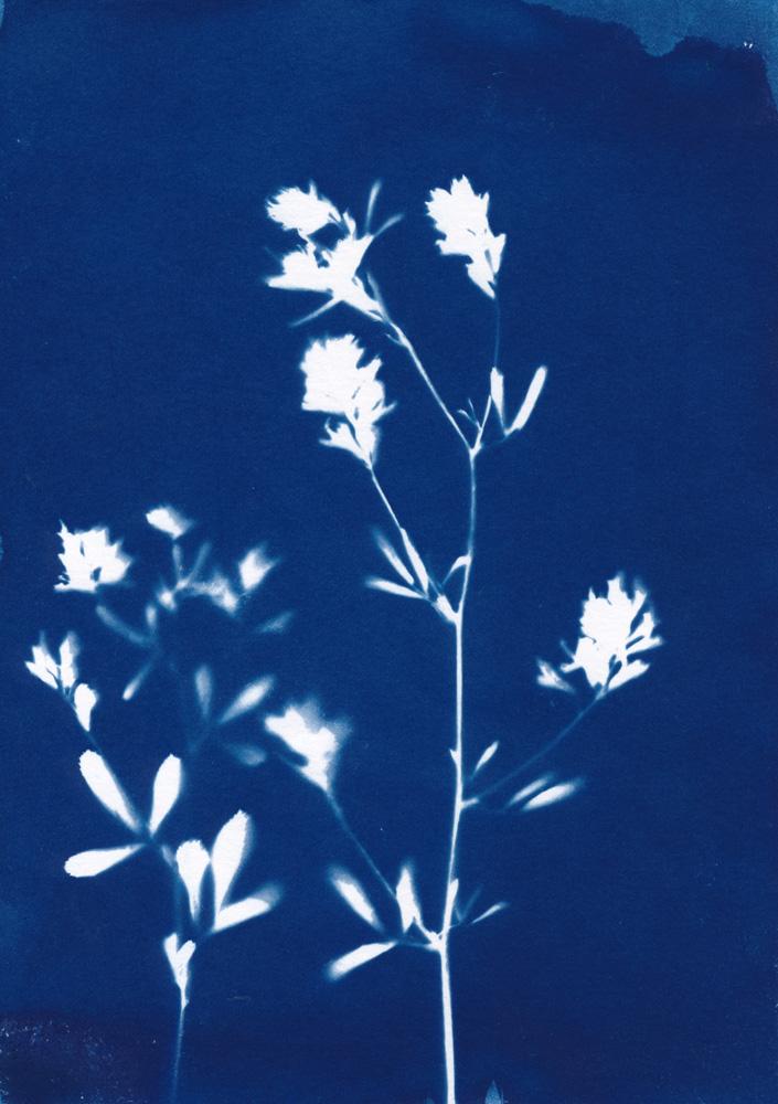 Cyanotypie von Luzernenblüten
